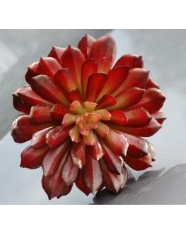 Artificial Burgundy Succulent Plant Cactus Echeveria 10cm high x 10cm wide